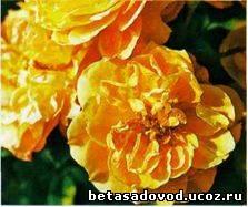 Calapuno Величественная Роза