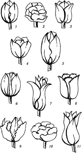 Класс тюльпана и характерная для него форма цветка