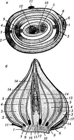 Горизонтальный (а) и вертикальный (6) разрезы луковицы тюльпана